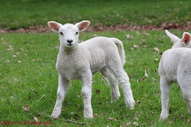 Lamb, 1 week old
